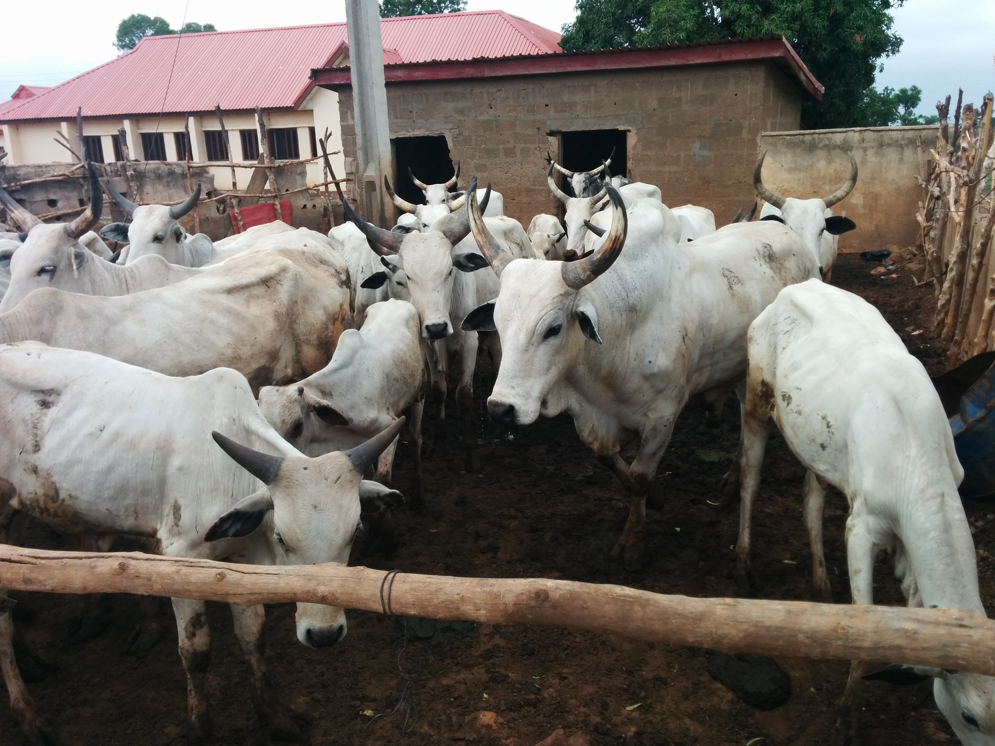 Cattles Yaba